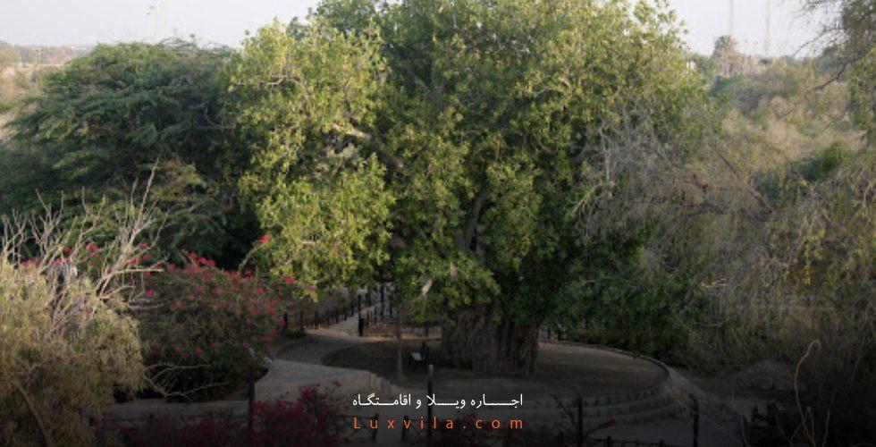 درخت سبز کیش کجاست